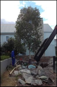 mature tree large tree transplanting