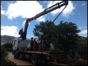specialized tree transplanting