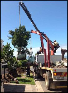 large tree planting